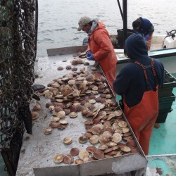 Maine closes six scallop grounds for season to protect resource