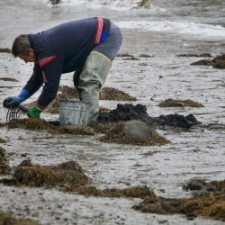 Red tide relocates clam diggers