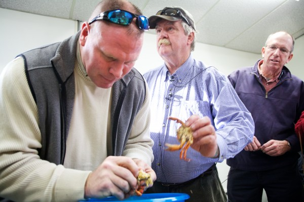 Brunswick Marine Resource Officer Dan Devereaux (left) picks a green crab at a press conference called by Ron Howse (center) of Tidalwater Seafood Company in Brunswick on Thursday. Howse has plans to commercially process the crabs for food. Capt. Bill Linnell (right) is interested in harvesting the crabs.