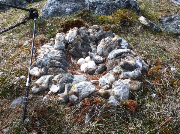 A snowy owl's nest in Quebec contains four eggs surrounded by 70 lemmings. Usually the owls bring only a few back to the nest. The white birds came from Canada this winter to points throughout the Eastern United States