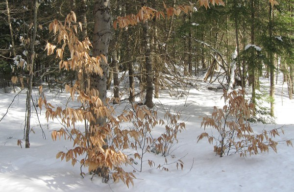 Long dried and faded, brown leaves cling to beech saplings throughout the winter. The beech is one of few hardwood trees that retains its leaves well into the cold months of the year.