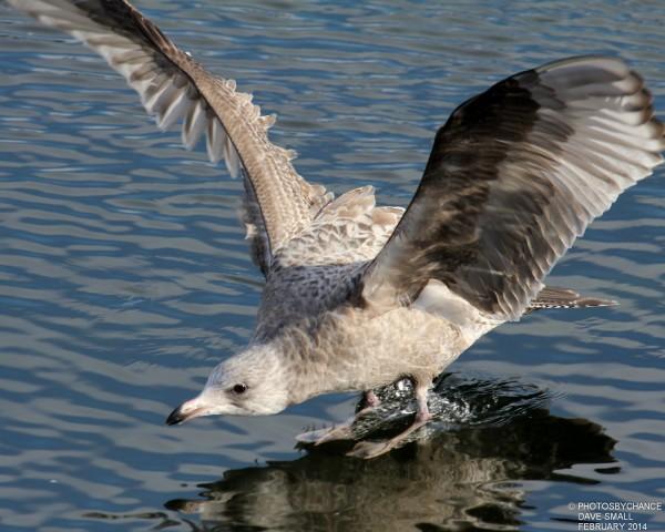 A gull on final approach.