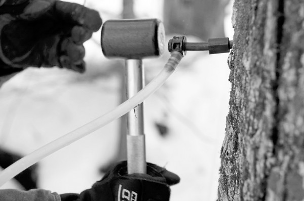 Lee Kinney of Kinney's Sugarhouse in Knox uses a mallet to tap a sanitary health spout into a maple tree to connect it to a mainline tube for maple sap extraction. All told, Kinney's Sugarhouse has approximately 8,500 taps to trees on the 180 acres it owns in Knox.