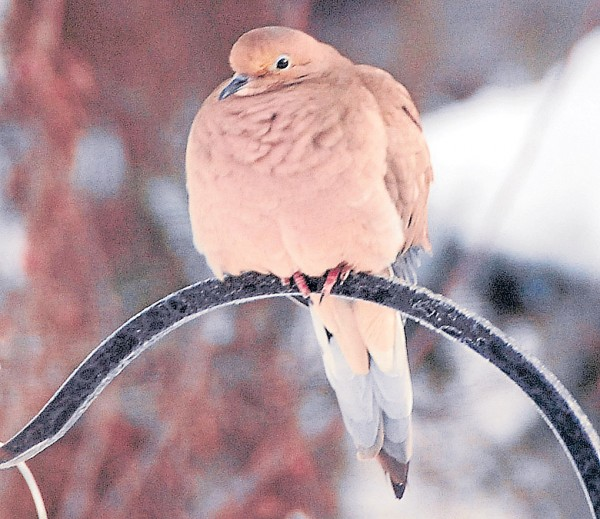 Its feather fluffed to ward off the winter chill, a mourning dove perches on the stand holding a Hampden birdfeeder on Feb. 15.