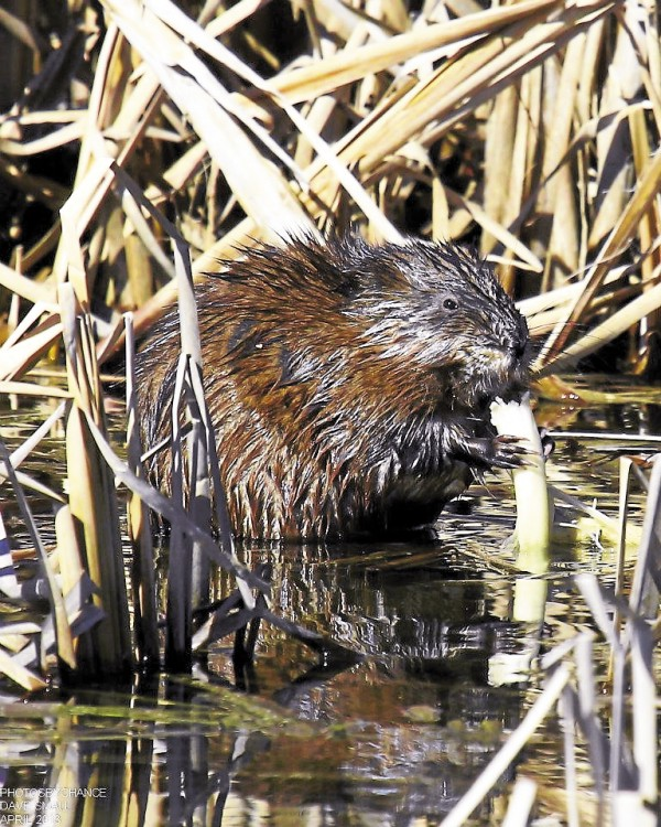 A muskrat stops to pose for the camera at Essex Woods in Bangor last year.