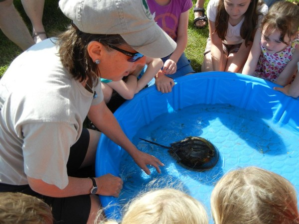 Horseshoe crabs will make a special appearance at the Maine State Museum on February 19 in a program conducted by Coast Encounters, a marine science discovery organization based in Wells, Maine. Photo courtesy of Coast Encounters.