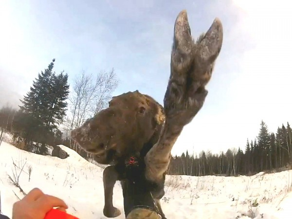 This screenshot of a video shows a baby moose attacking a man during a wildlife study.