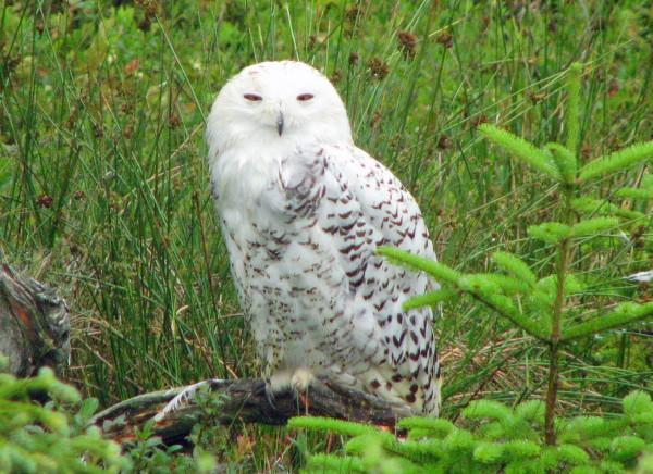 A snowy owl.