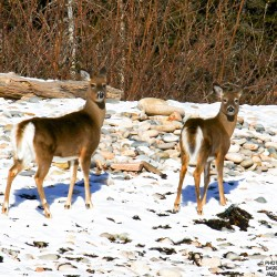 A pair of deer on Mount Desert Island.
