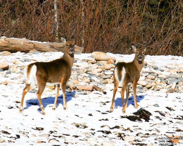 A pair of deer on Mount Desert Island.