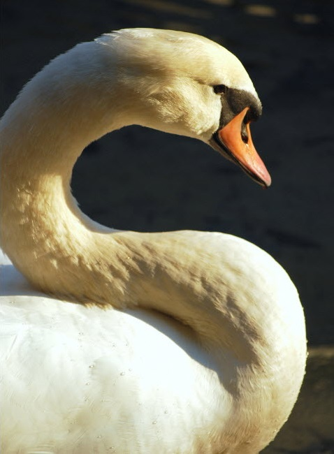 The state is planning to eliminate by 2025 the entire population of the regal wild mute swans, which its Department of Environmental Conservation calls an aggressive, invasive species and a danger to people and native wildlife populations.