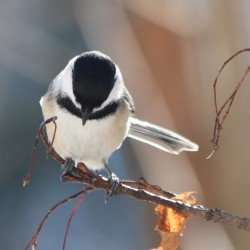 Maine black-capped chickadee