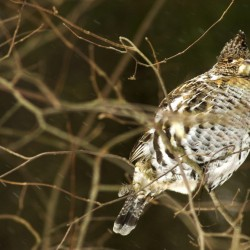 Spruce grouse talk scheduled for Holden