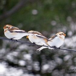 Birders excited by invaders from the north
