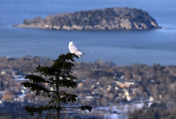 A snowy owl perches just below the summit of Cadillac Mountain, overlooking Bar Harbor and one of the Porcupine Islands at Mount Desert Island.