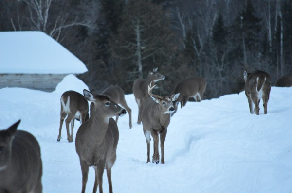 A one-antlered deer takes center stage among several others near Stratton in this January 2014 photo. A landowner regularly feeds the deer and people often stop by to take photos of the hungry herd.