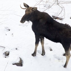 Maine to reduce moose hunt permits by 25 percent because winter ticks have taken toll on herd