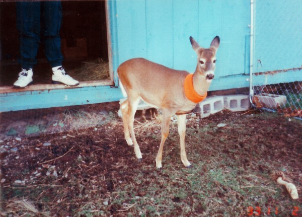 A young white-tailed deer being rehabilitated by Maine wildlife rehabber Sandra Stone stands in an enclosure at Stone's home in Frankfort.