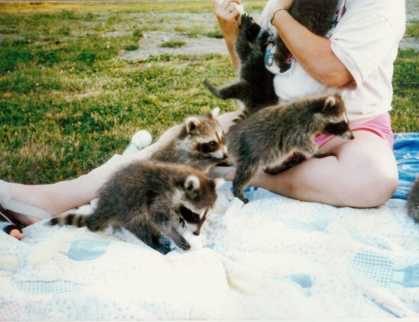 Young raccoons crawl on wildlife rehabber Sandra Stone as she bottle feeds them at her home in Frankfort. In her old horse barn, she''s cared for deer, foxes, raccoons, skunks, porcupines, squirrels and fishers for the past 30 years.