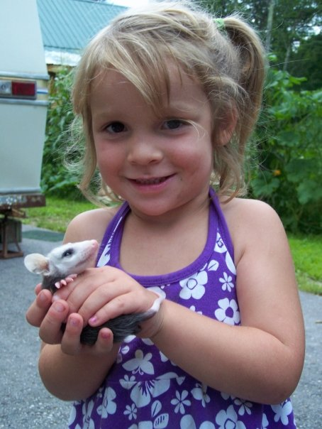 Isabella Farrington, daughter of wildlife rehabber Adam Farrington, holds a baby possum in 2011 at their home in Poland, Maine. An adult female that was struck by a car and was brought to Farrington for rehabilitation. During the process, she surprised Farrington by giving birth to this baby possum and 11 other babies. All were later released in a safe area.