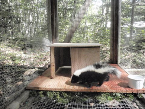A skunk checks out its new outdoor cage on Sept. 9, 2011, while being rehabilitated by licensed wildlife rehabber Nancy Fox at her home in Surry.