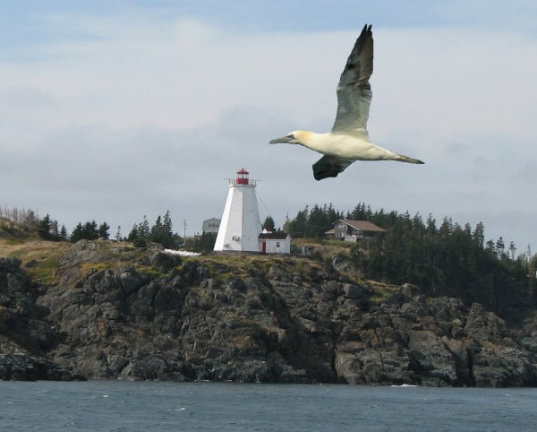 A northern gannet in front of Grand Manan's Swallowtail Light.