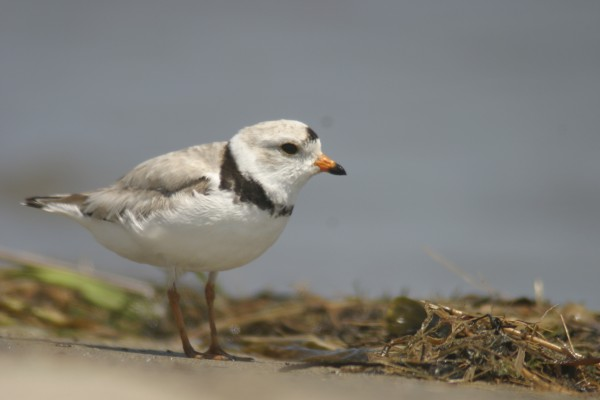 Maine's population of endangered piping plovers is at an all-time low according to the state Department of Inland Fisheries and Wildlife.