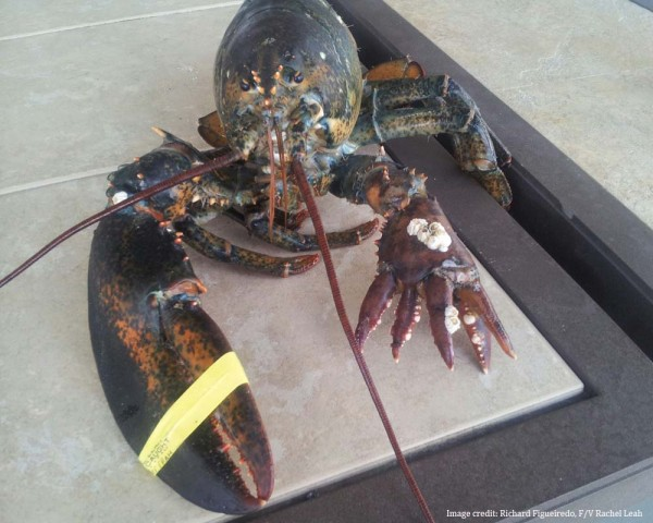 Lola, a six-clawed lobster living at the Maine State Aquarium in Boothbay Harbor last year, is unique in that she has five claws on her left appendage alone.