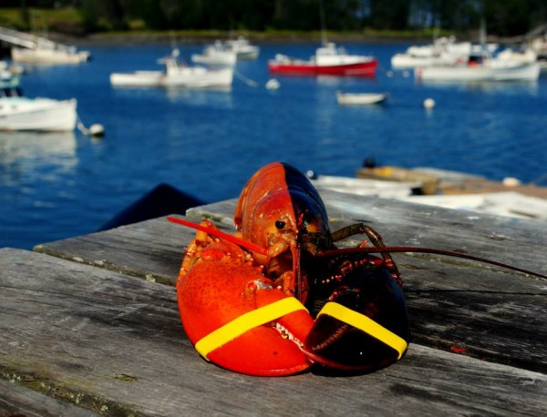 This lobster, almost exactly half-red, was caught by an Owls Head lobsterman and donated to the Gulf of Maine Research Institute in Portland by Ship to Shore Lobster Co.