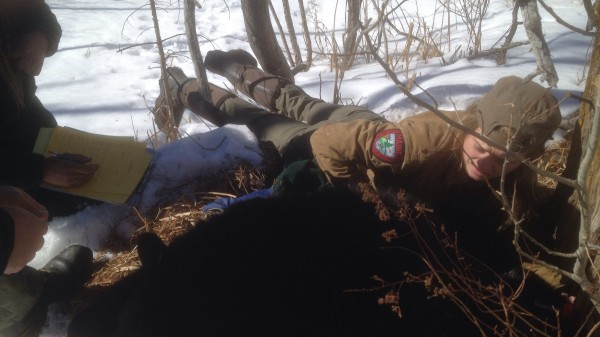 Lisa Bates, a bear crew member for the Maine Department of Inland Fisheries and Wildlife, reaches into a hollow tree to retrieve one of four bears that were found in an Orono man's backyard over the weekend.
