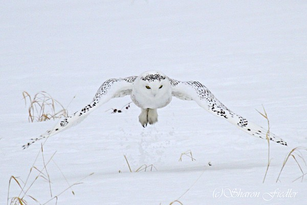 A snowy owl flies over a field in Hampden.