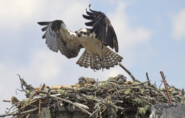 An osprey flies over its nest and chicks in Stockton Springs.