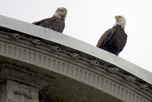 Two bald eagles perch atop the Rudman Winchell building in Downtown Bangor.