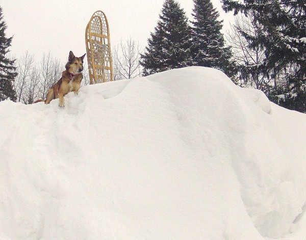 As of Monday, 42.1 inches of snow had fallen in Caribou in March, making it the third-biggest snowfall on record, according to the National Weather Service. At the northern Aroostook County home of Julia Bayly, her dog Corky sits on top of a seven-foot-tall snow bank created from snow cleared from the driveway.