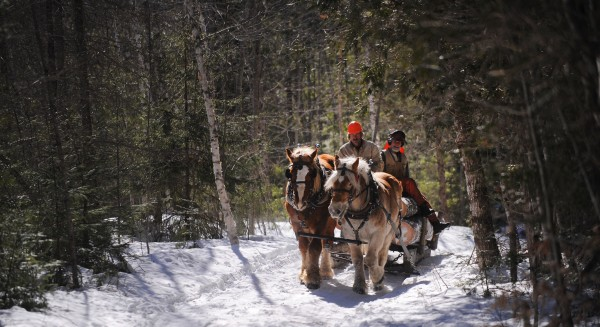Belgian draft horses Bill (left) and Ben haul a load of logs to the roadside as Raymond Hill (left) and Jim Ostergard ride out of the woods to take a lunch break. Hill and Ostergard both use horses for logging in their separate businesses. This method is preferred by landowners who want very low-impact logging done on their property.