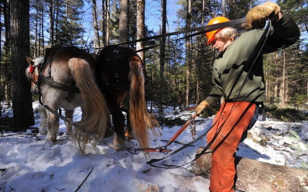 Raymond Hill backs Sam and Bill so he can hook onto a log while working in a woodlot in Lincolnville. Hill owns Second Draught Farm in Washington where he farms using his eight horses and also offers horse-powered farm work such as plowing and logging.