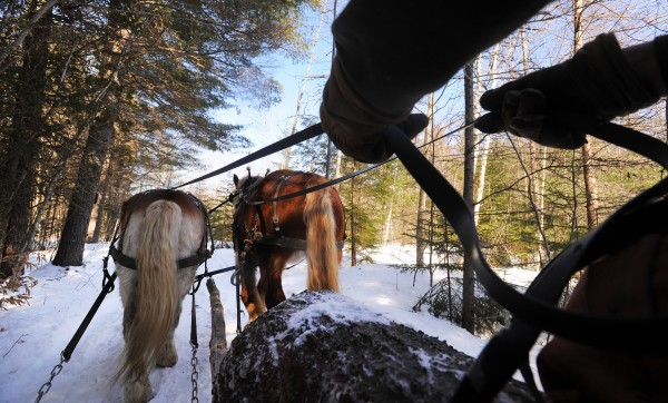 Raymond Hill hold the reins of his horses Sam and Bill as they pull a scoot full of logs to the roadside while logging in a Lincolnville woodlot.