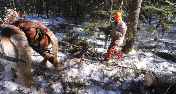 Raymond Hill and his horses pull out a pine log in a Lincolnville woodlot.
