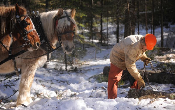 Raymond Hill wraps a chain around a log while his Belgian draft horses Bill (left) and Sam wait patiently while working in a Lincolnville woodlot. Horse logging is preferred by landowners who want very low-impact logging done on their property.