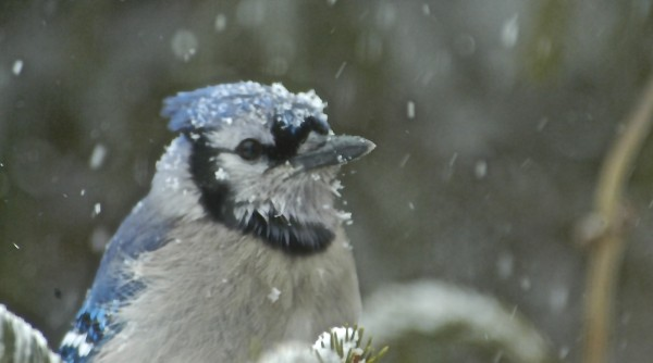 A blue jay perches in the snow as spring arrives on Thursday with a March snowstorm.