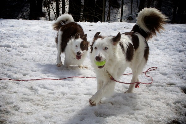 Rescued border collies Roosevelt (left) and Isadore play in Stephanie Fox's backyard in Portland on Thursday.