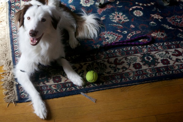Isadore, one of Stephanie Fox's three rescued border collies, keeps watch on a ball in Portland on Thursday.