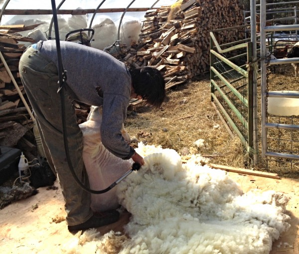 Jeff Burchstead shears a sheep on his farm in Wiscasset on March 10.