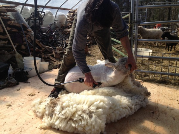 Jeff Burchstead shears sheep at his Wiscasset farm on March 10. He is one of a handful of sheep shearers in the state.