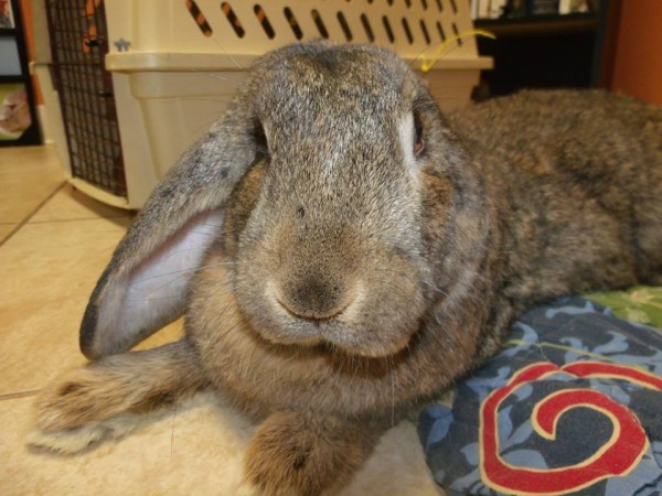 Memphis, a 4-year-old male Flemish giant rabbit, poses for the camera at the Hoppity Haven Rabbit Rescue in Houlton in February. A donation jar left out at the Houlton Humane Society containing donations for the rabbit rescue was stolen on Tuesday.