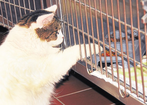 Polly has mastered the art of stealing other kitties' food, right through their cages at The Animal Orphanage in Old Town. She was adopted recently.