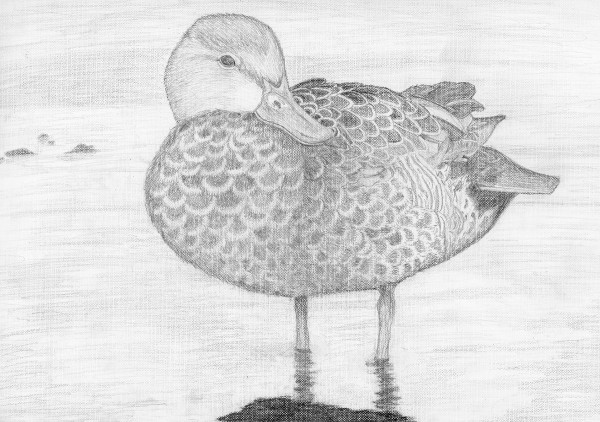 Abigail Bennett's created this pencil drawing of a blue-winged teal duck for the 2014 Junior Duck Stamp contest run by the U.S. Fish & Wildlife Service. Bennett's entry won Best in Show out of 483 entries for Maine's competition and goes on to the nationals April 18. Her very detailed black-and-white pencil drawing is a rare win in a contest where color tends to dominate.
