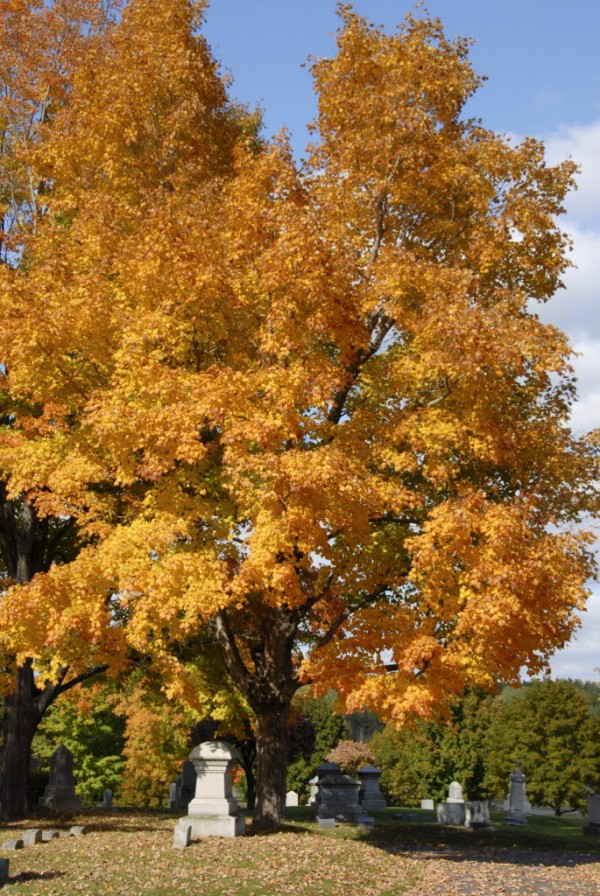 Its orange leaves illuminated by the mid-October sun, an ancient maple tree lends its autumn beauty to Mount Hope Cemetery in Bangor. Buried beside the tree are several members of the Wheelden family.