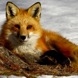 A red fox relaxes.