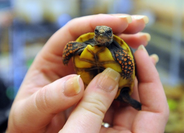 A tiny 3-week-old red foot tortoise is held by Jennifer Hignutt of Chester, Maine, at the Northeast Reptile Expo at the Cross Insurance Center on Sunday.  Hignutt owns a 7-year-old red foot and is considering another.